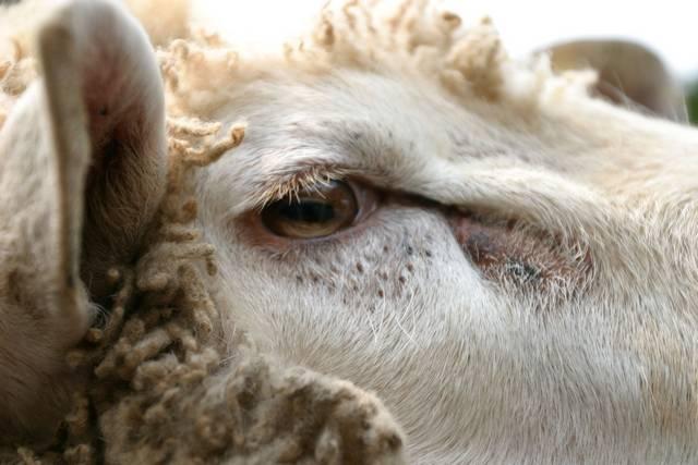 зрачок у овцы прямоугольной формы