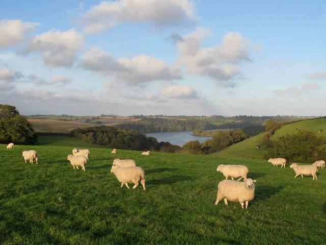овцы пасутся на лугах