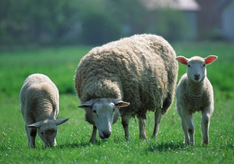 скачать игру про овец