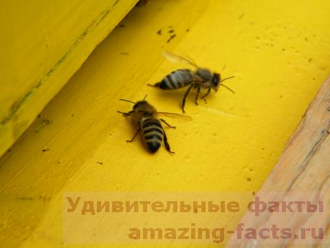 Факты о пчелах, facts about bees